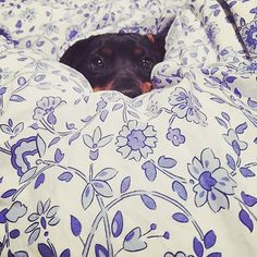 This little one is having a duvet day  #daushaund #cologneandcotton #bedlinen #regram @luna_at_large