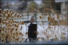 Northern Flicker. USFWS Bear River Migratory Bird Refuge, Utah. Photo: Jennifer Bunker