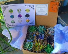 Give Thanks with Succulent Harvedt Giving Box. 9 Assorted Premium succulents with Pumpkin Tag Succulent Treasures