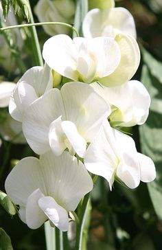 Buy everlasting sweet pea Lathyrus latifolius 'White Pearl': Delivery by Crocus