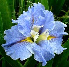 Blue Mountain Mist - Louisiana Iris Gardens