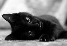 Resultado de imagem para gatos pretos de olhos azuis