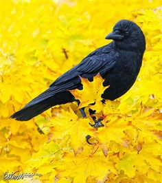 This Corvidae is Glorious!! Welcome Autumn!!! :)