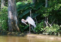 posing blue Heron