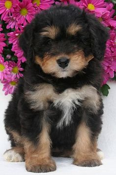 The Bernedoodle also known as a Bernese Mountain Poo is a hybrid dog that is a mix of a Bernese Mountain Dog and a Poodle. There are actually three types of Bernedoodle. The standard which is a cross between a Standard Poodle and the Bernese Mountain Dog, Puppies And Kitties, Cute Puppies, Cute Dogs, Doggies, Bear Dogs, Bernese Mountain Dog Poodle, Mountain Dogs, Mountain Photos, Bernadoodle Puppy