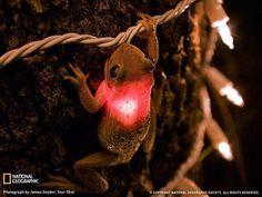 Amazing frog swallows christmas light