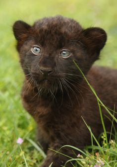 Newborn Panther Cubs At Tierpark Berlin Newborn baby panther Sipura walks in the grass … Baby Panther, Panther Cub, I Love Cats, Big Cats, Cats And Kittens, Cute Cats, Black Panthers, Young Animal, My Animal