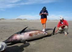 Le Pérou inquiet pour sa faune marine, cherche actuellement la cause d'une vague de décès sur les plages du nord du pays. L'IMARPE, l'Institut maritime péruvien a recensé ces derniers jours plus de 500 carcasses de pélicans sur environ 70 km de côtes. 54 fous, plusieurs lions de mer et une tortue ont également été trouvé, par les scientifiques. Dans cette même région, on dénombre également depuis le mois de janvier 2012, 800 dauphins échoués, rapporte BBC News. Le gouvernement péruvien se…