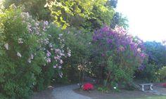Hulda Klager's Lilac Garden (Where Lilacs Still Bloom)