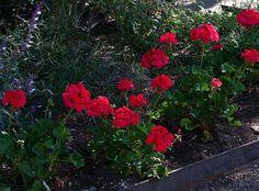 Geranium-Pelargonium sp. - red