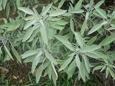 Sage   10 Powerful Medicinal Plants From Around the World   http://survivallife.com/medicinal-plants-from-around-the-world/