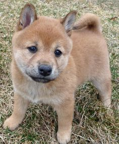 Lucy the Shiba Inu. This dog is cuter than boo, and looks like she'd win in a fight.