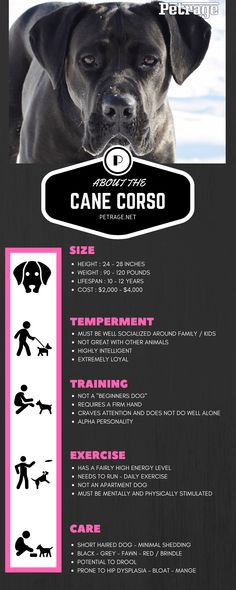 The Cane Corso is an amazing dog - with a mix of loyalty and intelligence - this breed makes for a great companion. Chien Cane Corso, Cane Corso Dog Breed, Cane Corso Puppies, Cane Corso Italian Mastiff, Cane Corso Mastiff, Mastiff Dogs, Italian Cane Corso, Rottweiler Dog Breed, Boxer Dog Breed