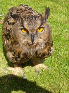 European eagle owl #Owl #BirdsofPrey #BirdofPrey #Bird of Prey