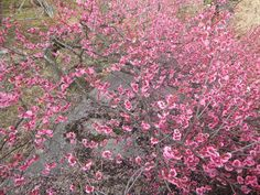 Blooming plum, 12 March 2012