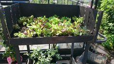 I år odlar jag snigelfri sallad i en gammal grill. Fungerar bra men man får vattna ofta.