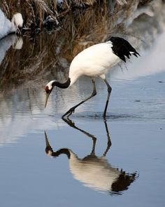 Red crowned crane of Japan
