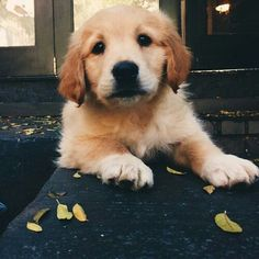 Golden Retriever Puppies Golden Retreiver is adorable Cute Puppies, Cute Dogs, Dogs And Puppies, Doggies, Animals And Pets, Baby Animals, Cute Animals, Retriever Puppy, Cute Creatures