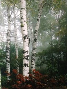 A birch tree forest surrounded by mist. Birch Tree Art, Birch Forest, Tree Forest, White Bark Trees, Landscape Photography, Nature Photography, Aspen Trees, Plantation, Belle Photo