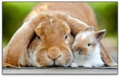 Momma and baby bunny cuddle close together:)