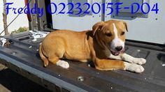 ***SUPER URGENT!!!*** - PLEASE SAVE FREDDY!! - EU DATE: 3/12/2015 -- Freddy (02232015f-D04) Breed:Terrier (mix breed) Age: Under 6 months Gender: Male Size: Medium Special needs: hasShots, Shelter Information: Delano Animal Shelter 1525 Mettler Avenue  Delano, CA Shelter dog ID: 02232015F-D04 Contacts: Phone: 661-721-3377 Name: Delano Animal Control email: SHELTER661@GMAIL.COM  Read more at http://www.dogsindanger.com/dog/1424816161668#sXWv3bS7PwxIETpe.99