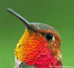 colibri-roux-profil