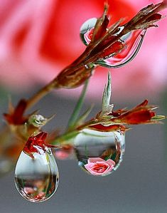 Beautiful pink roses reflected in hanging clear water.