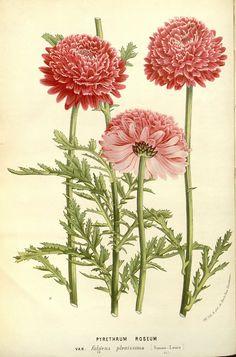 Pyrethrum Roseum from 'Flore des serres et des jardins de l'Europe' ( 1867-1868).    Louis van Houtte (1810–1876).