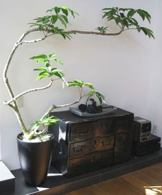 Japanese Indoor Plants, Big Indoor Plants, Indoor Trees, Potted Trees, Trees To Plant, Botanical Interior, Low Light Plants, Room With Plants, Garden Planner