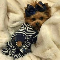 Everything About The Brave Yorkshire Terrier Dogs Health Teacup Yorkie, Teacup Puppies, Cute Puppies, Cute Dogs, Poodle Puppies, Yorkies, Yorkie Puppy, Cute Baby Animals, Funny Animals