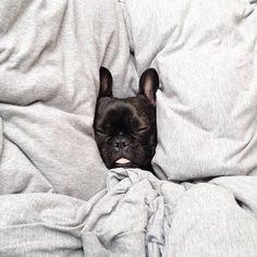Sleepyhead, French Bulldog Puppy.