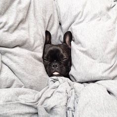 Sleepyhead, French Bulldog Puppy.
