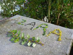 Azara microphylla plant parts, Seattle WA