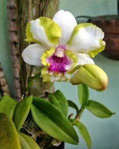 Cattleya Híbrida