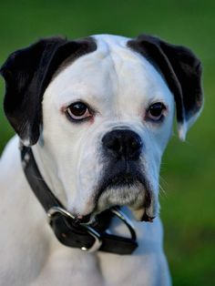 Figure out more details on Boxer Dogs. Browse through our site. Boxer Dog Puppy, Boxer Breed, Boxer Rescue, Boxer Mom, Boxer And Baby, Dog Cat, I Love Dogs, Cute Dogs, White Boxers