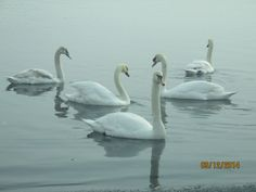 Mute Swans extended family - Boat Ramp, West Haven, CT.