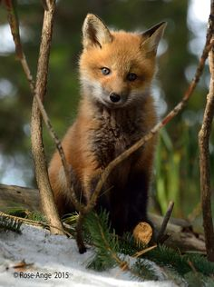 red fox kit | animal + wildlife photography