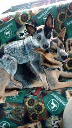 Blue heelers; Australian Cattle Dogs