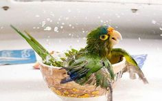 Papagei badet