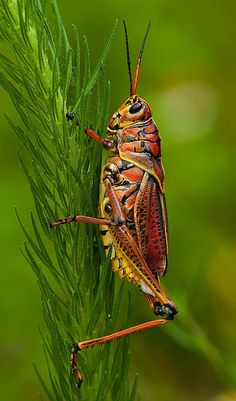 Lubber Grasshopper Loxahatchee National Wildlife Refuge