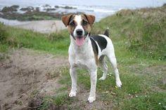 Jack Russell Terrier ⋆ Hunde