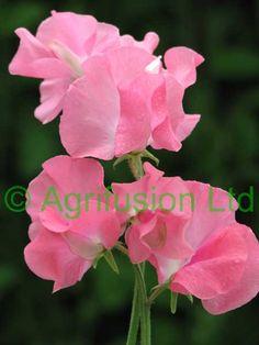 Sweet Pea - lathyrus look a like pink ripple