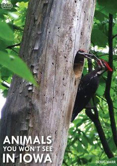 The pileated woodpecker is one animal that's tough to get a glimpse of in Iowa - learn about it and 8 others   Iowa DNR