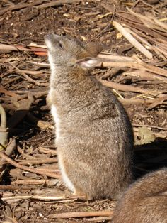 Our smallest wallaby is enjoying those first rays of winter sun.