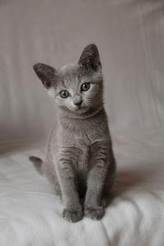The grey one Kitties