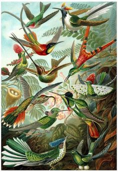 Trochilidae Nature Art Print Poster by Ernst Haeckel Posters at AllPosters.com