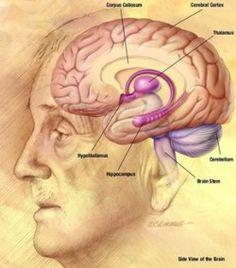 Fun Brain Facts for Kids - Interesting Facts about the Human Brain Brain Stem, Fun Brain, Brain Food, Facts For Kids, Fun Facts, Human Brain Drawing, Brain Diagram, Corpus Callosum, Cerebral Cortex