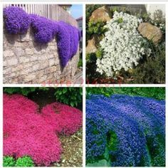 100pcsbag Creeping Thyme Seeds or Blue ROCK CRESS Seeds - Perennial Ground cover flower Natural growth for home garden