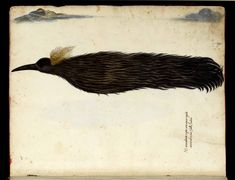 Bird of Paradise by Ulisse Aldrovandi (Bologna from his Ornotologia published 1599 Greater Bird Of Paradise, Traditional Witchcraft, Rare Birds, Exotic Birds, Colorful Birds, Owl Pet, Funny Animal Quotes, Antique Illustration, Little Birds