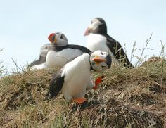 These puffins going diagonal.